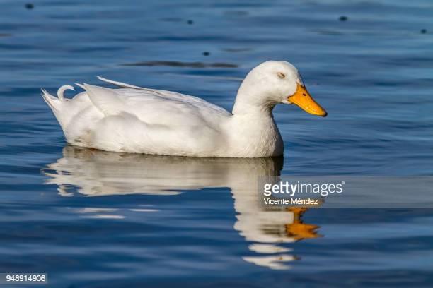 Pato dormido en el agua