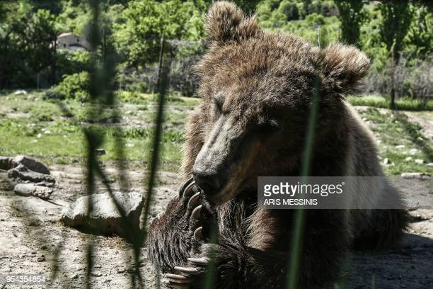 Patrick a threeyearold bear licks his claws at the Arcturos sanctuary in Nymfaio on the slopes of Mount Vitsi some 600 kilometres northwest of Athens...