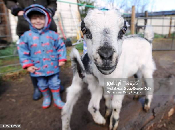 Patrick Jendrass watches one of the baby goats pose for a photo Mountain Flower Goat Dairy in Boulder held a 'baby goat shower' on Saturday
