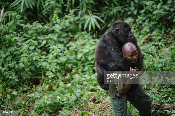 Patrick Karabaranga a warden at the Virunga National Park plays with an orphaned mountain gorilla in the gorilla sanctuary in the park headquarters...