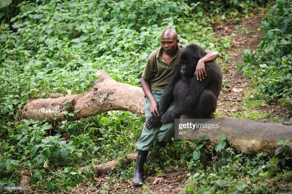 DRCONGO-UNREST-WILDLIFE-GORILLA : News Photo
