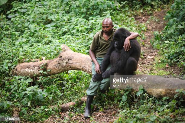 Patrick Karabaranga a warden at the Virunga National Park sits with an orphaned mountain gorilla in the gorilla sanctuary in the park headquarters at...