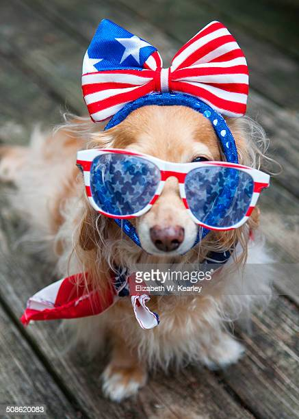 patriotic dog - hair bow stock pictures, royalty-free photos & images