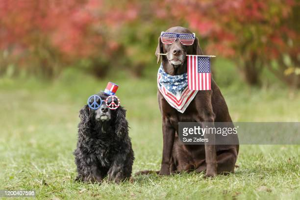 patriotic dogs in the autumn - patriotism stock pictures, royalty-free photos & images