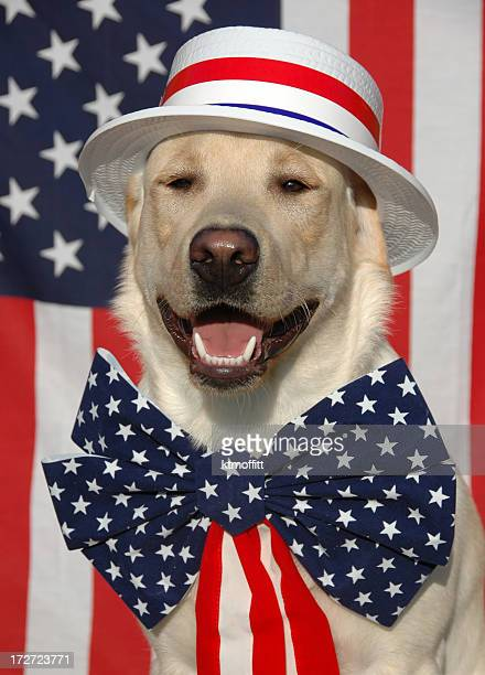 patriotic labrador dog with usa costume - patriotism stock photos and pictures