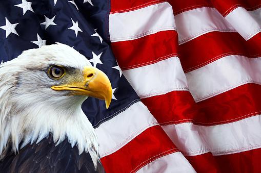 Patriotic north american bald eagle on american flag 532961103