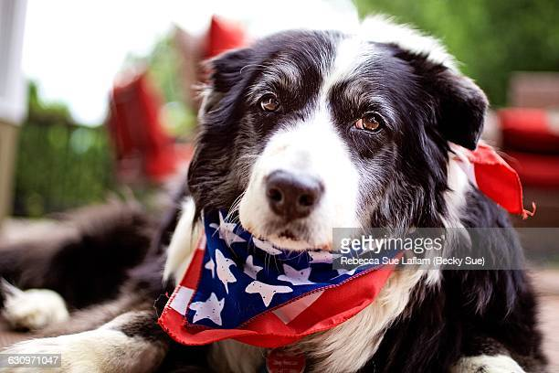 patriotic pets  - memorial day dog stock pictures, royalty-free photos & images