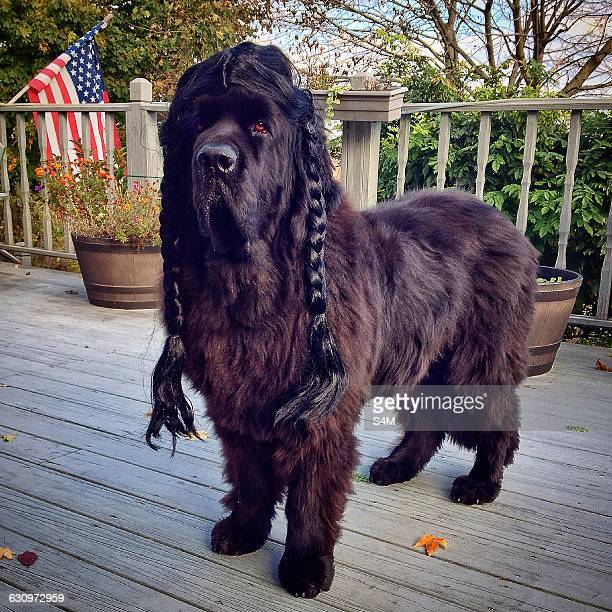 patriotic pets  - newfoundland dog stock photos and pictures