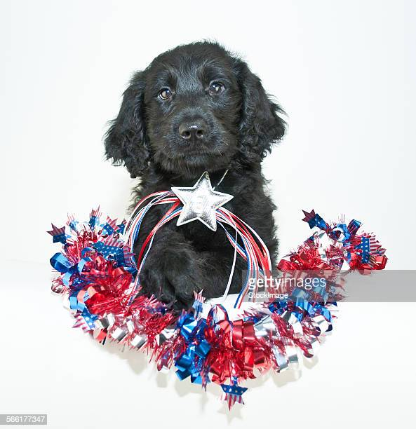 patriotic puppy - memorial day dog stock pictures, royalty-free photos & images