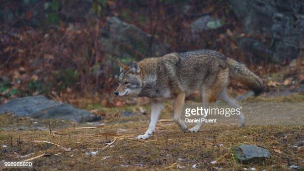 patrolling... - red wolf stock photos and pictures