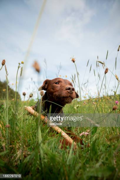 patterdale terrier in the grass - animal behaviour stock pictures, royalty-free photos & images
