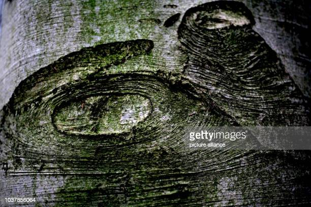 A pattern covers the surface of a tree bark in the Koenigsforst forest near Cologne Germany 19 November 2015 The state of North RhineWestphalia is...