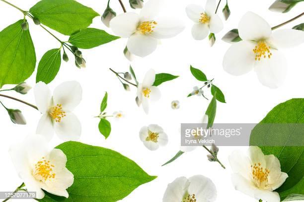 pattern made of jasmine flowers on white background, isolated. - jasmin bildbanksfoton och bilder