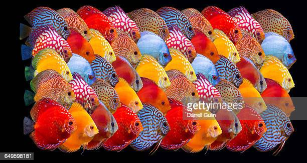 Pattern of Colorful Freshwater Discus Fish