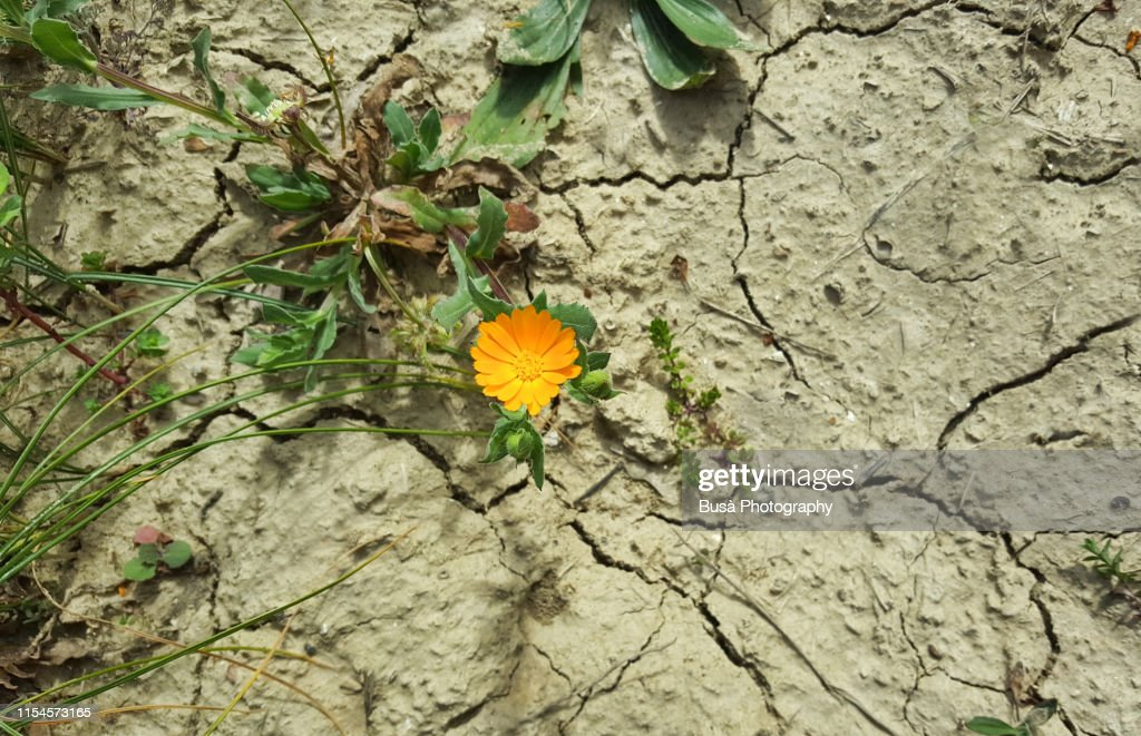 Pattern of cracked and dried soil with a dandelion : Stock Photo