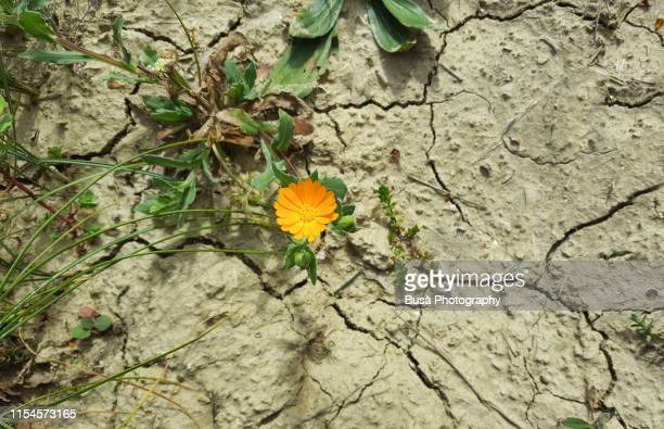 pattern of cracked and dried soil with a dandelion - 柔軟性 ストックフォトと画像