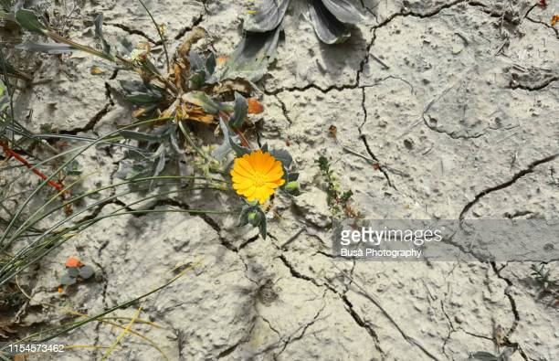 pattern of cracked and dried soil with a dandelion - resilience stock photos and pictures