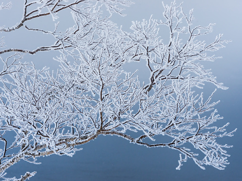 A pattern of snow-capped tree during the winter in Hokkaido - gettyimageskorea