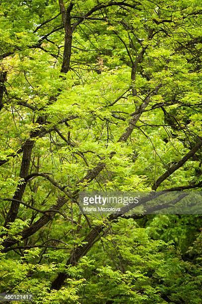 Pattern of Spring Ash Trees