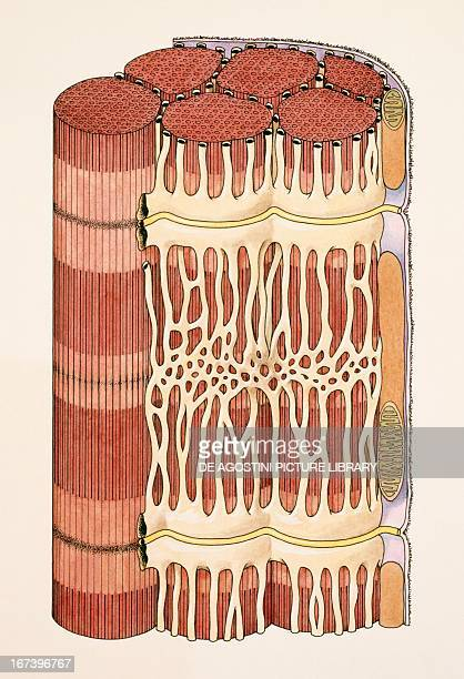 Pattern of striated muscle fiber Drawing