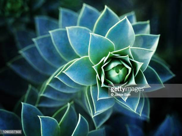 patterns in nature - houseleek - succulent stock pictures, royalty-free photos & images