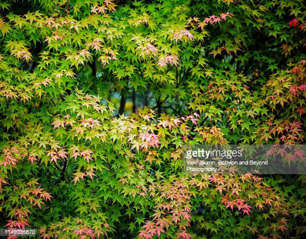 patterns of green leaves turning red on japanese maple tree - east hampton stock pictures, royalty-free photos & images