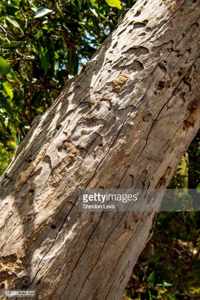 patterns on trunk of dead eucalypt tree caused by insects - by sheldon levis stock pictures, royalty-free photos & images
