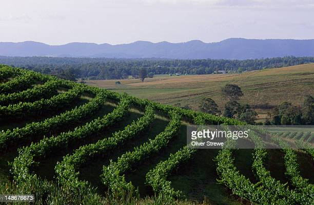 Patterson's vineyard, Hunter Valley.