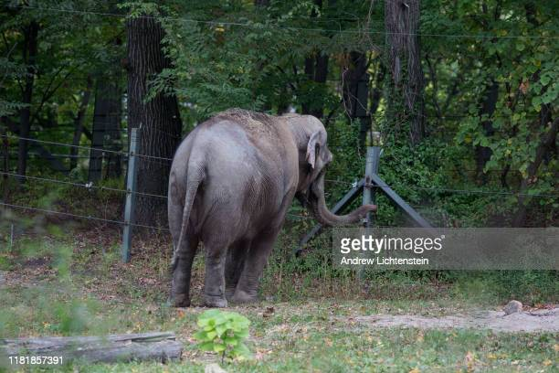 Patty an Asian elephant kept in captivity at the Bronx Zoo stands in her enclosure alone after being separated from the zoo's other remaining...