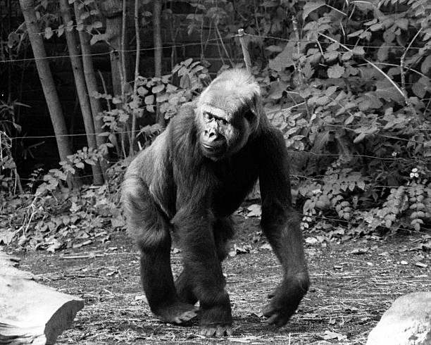 pattycake the gorilla photos com