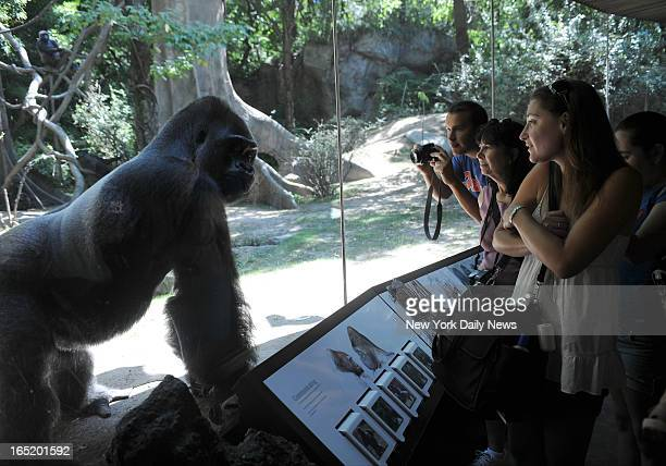 Pattycake plays at the Wildlife Conservation Society Congo Exhibit at the Bronx Zoo A WCS report released today indicated that there were 'Massive'...