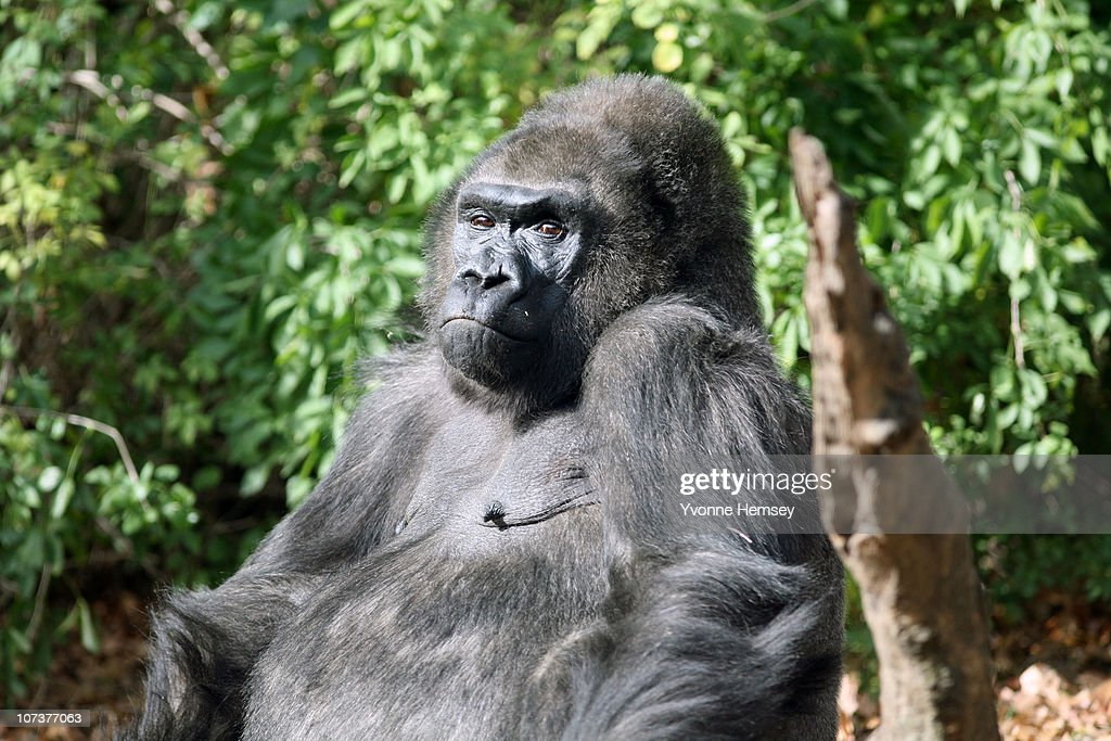 Gorilla Species Survive In Captivity, Greatly Endangered In The Wild : News Photo