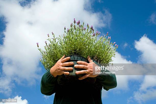Paul Abbott of Wight Lavender holds a pot of lavender Isle of Wight