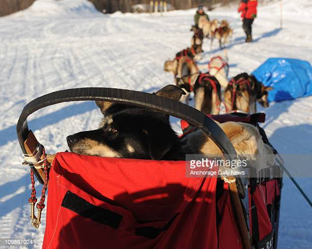 Paul Gebhardt carried three of his sled dogs Hag Recon and Queen in the basket while arriving at the Nikolai Alaska checkpoint during the Iditarod...