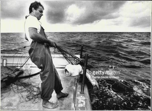 Paul Grunsell pulling in an Angel Shark caught in the netsPicture taken on shark boat that checks the nets between Bondi and Garie beach Boat is...