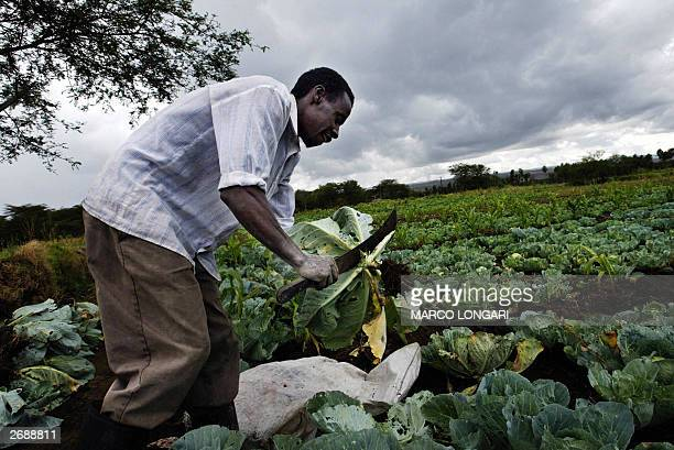 Paul Murenghi cleans with a panga cabbages he grows on his field on the shores of Lake Naivasha some 100km north of Nairobi Kenya 31 October 2003 The...