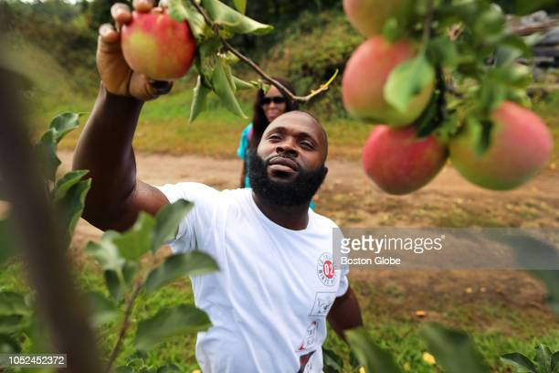 Paul White from Boston picks a pink lady apple at CN Smith Farm on South Street in East Bridgewater MA on Oct 10 2018 This is the last week before...