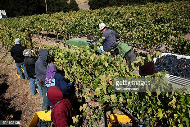 Paul Wolfe drives a tractor as he is helped to harvest Mourvedre wine grapes by migrant workers at Pipestone Vineyards in Paso Robles October 1 2012