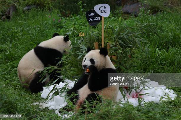 Paule, one of the panda twins at Zoo Berlin, nibbles on a frozen concoction for him and his brother Pit , as their mother Meng Meng stands nearby at...