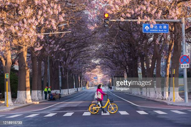 paulownia flowers bloom on both sides of the highway in beijing, china in spring, and women wearing masks cross the sidewalk - beijing stock pictures, royalty-free photos & images