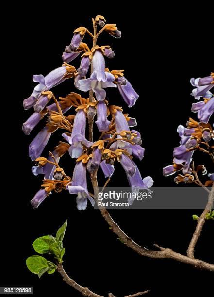 Paulownia tomentosa (foxglove tree, princess tree, royal paulownia) - flowers
