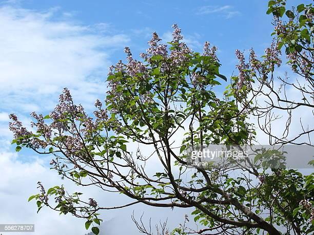 Paulownia tree blossom