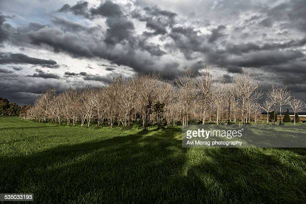 Paulownia trees in the middle of wheat field