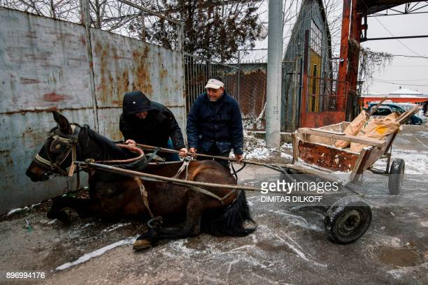 Pavel Slavchev tries to lift his 7yearold mare Maya after she slipped on the ice and fell while dragging a cart in the predominantlyRoma suburb of...