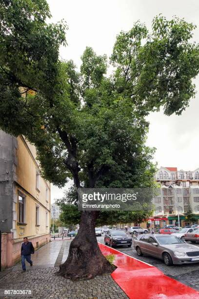 pavement and red bike road are shaped to protect the tree trunk and root in a batumi street. - emreturanphoto stock pictures, royalty-free photos & images