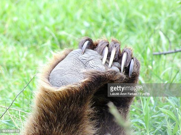 Paw Of Grizzly Bear