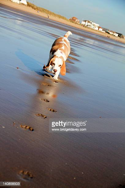 paw prints in sand - camber sands stock photos and pictures