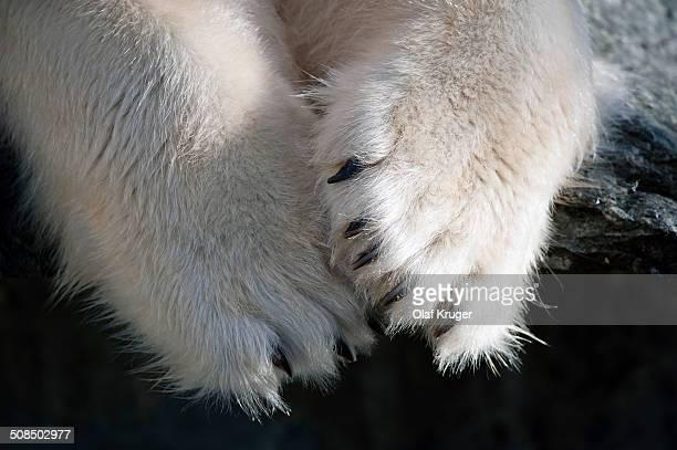 Paws and claws, Polar Bear -Ursus maritimus-, captive