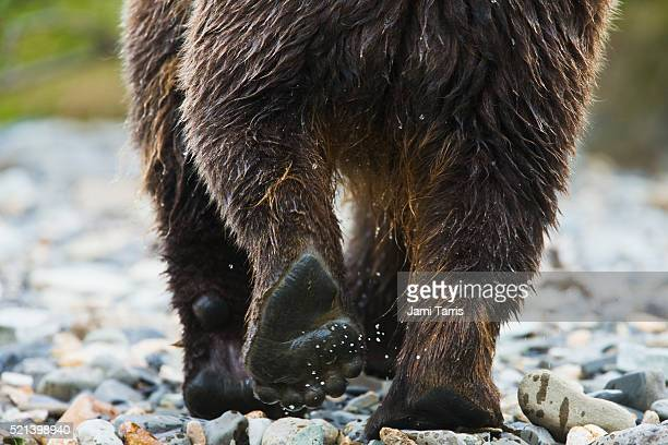 Paws of a coastal brown bear