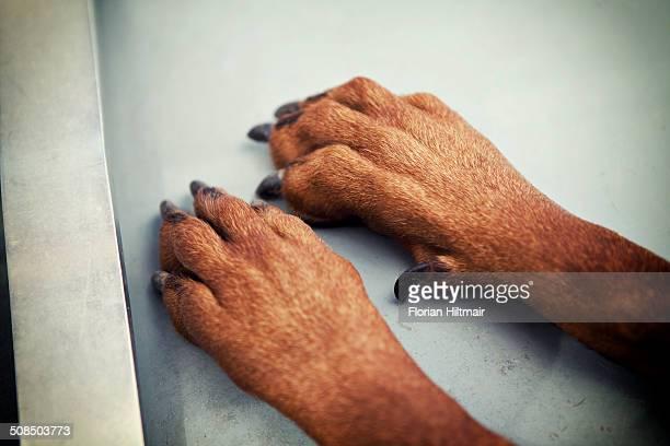 Paws of a Doberman